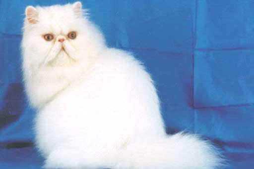 кошки персидские фото - фотография 4.