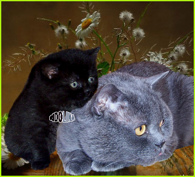 BeEnglish Фотографии: Британские короткошерстные кошки.