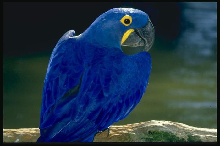 Синий попугай сидит на ветке над речкой Домашние животные - 1 Домашние животные Животные МИР ФОТО.