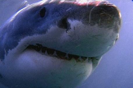 Тигровые акулы являются одними из крупнейших рыб в мире.