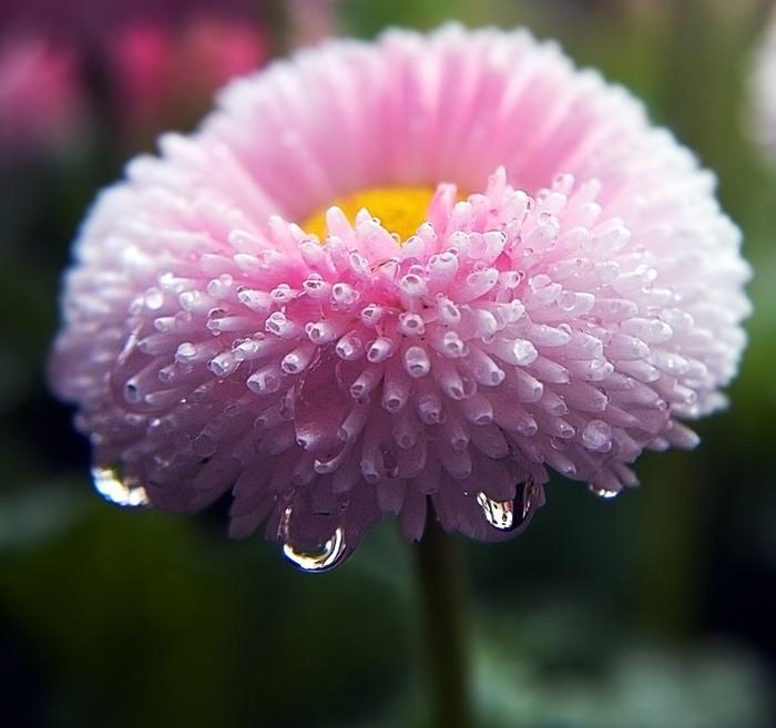 ... цветка маргаритки вот такая легенда: www.liveinternet.ru/journalshowcomments.php?jpostid=191164397...