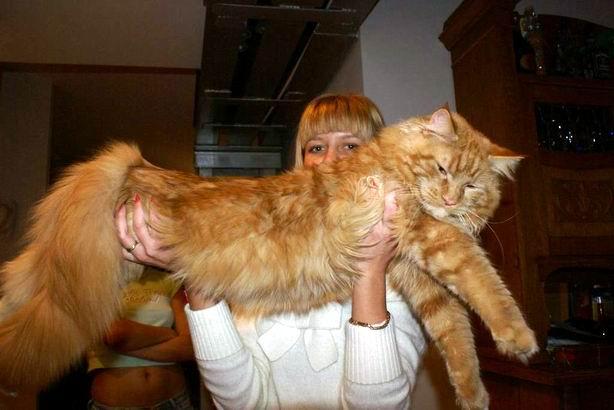 ...кошек в спб википедия ... добро добрым верности парода кошки майкун.