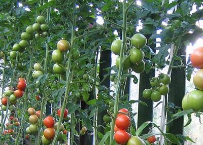 Сначала давайте остановимся на том, зачем же томаты выращивать на шпалере, а не обычным, кустовым способом.