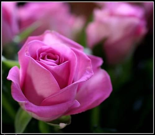 Ruže - Page 4 67218238_sirenevuye