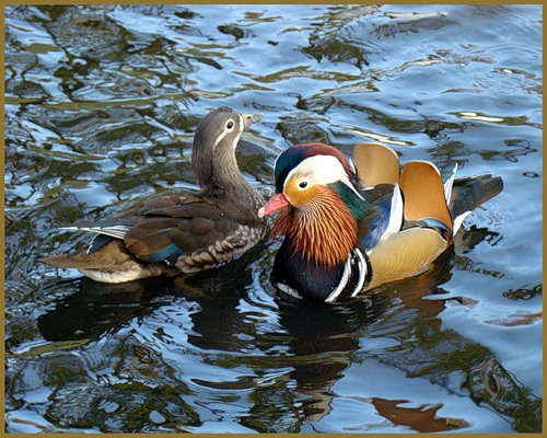Mandarin duck couple