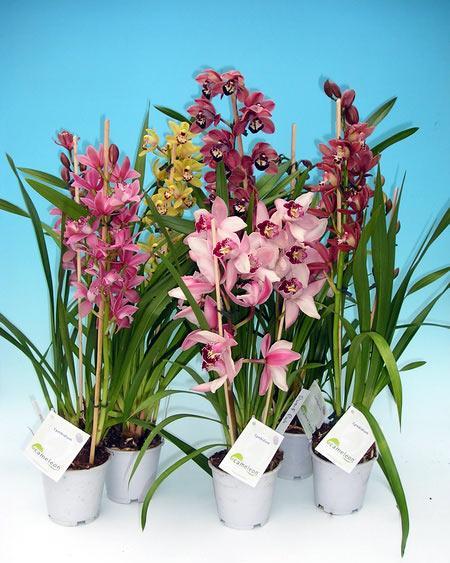 54. Орхидея- Цимбидиум.  Цветы рода Цимбидиум широко известны и очень популярны срезанными, в букетах...