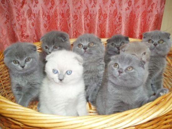 продам Куплю котенка в Кемерово 2137.