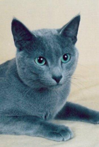 фото русской голубой кошки - фотография 3.