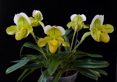 Венерин башмачок цветок комнатный
