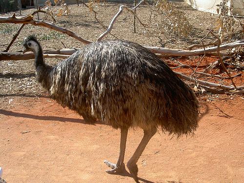 Страус почти одомашненный ныне (это они - основная птица страусиных ферм) - страус нанду