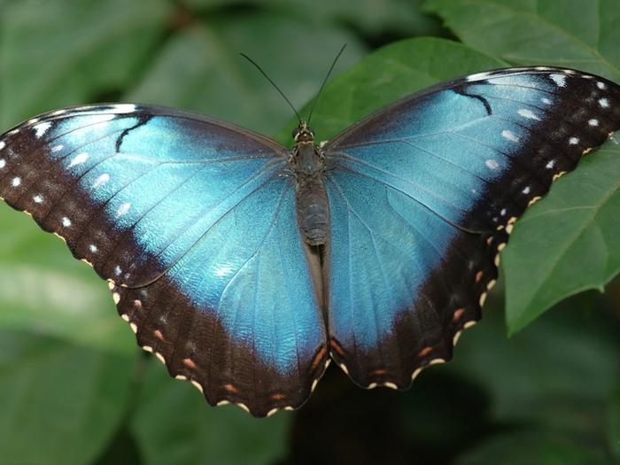 Обои бабочки.  Бирюза.