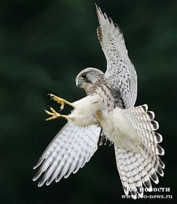 Все о летунах - фото охотничьих птиц.  Красивые птицы картинки.