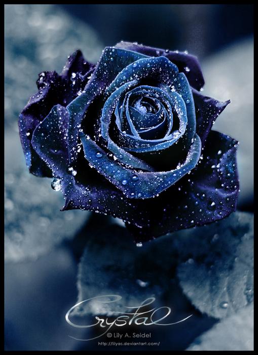 Картинки синие розы на белом фоне - 52937