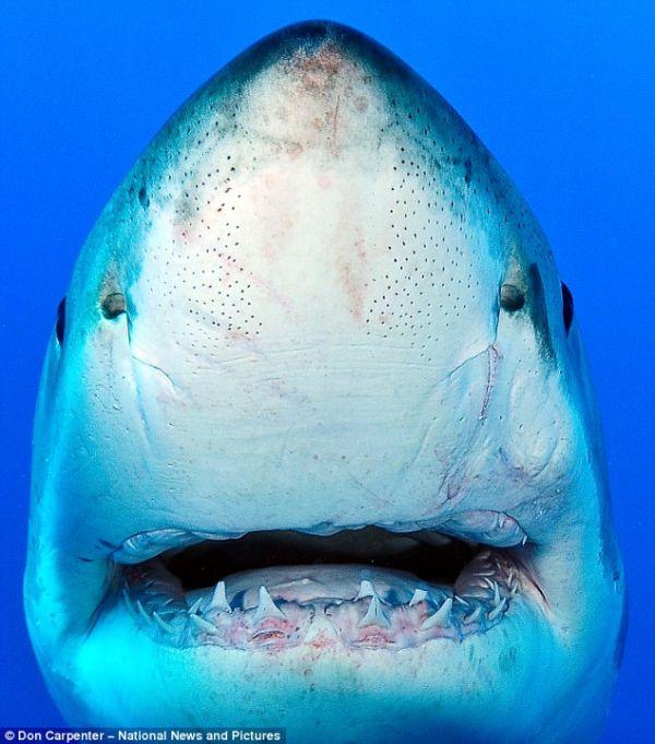 Улыбочка белой акулы (3 фото)