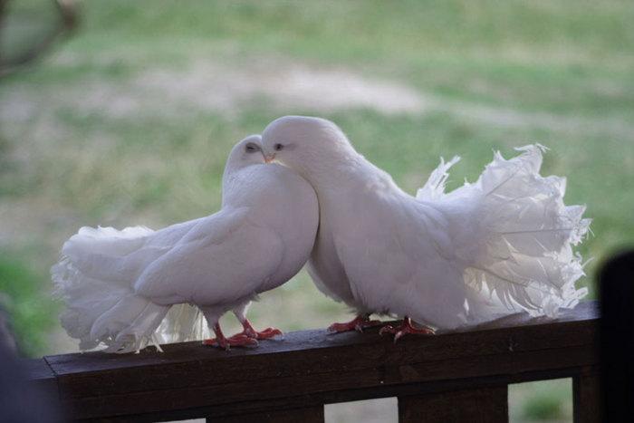 Добро пожаловать на мою голубятню.  И снова мои любимые голуби, любящие голуби