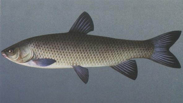 Рыба амур и рыба мусар (отчет дамохозяйки