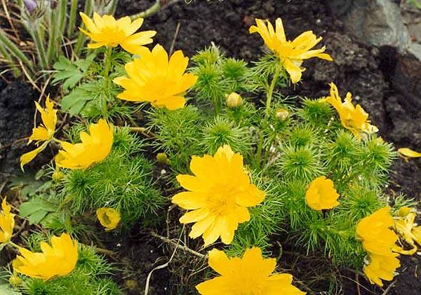 Растительный мир Алтая (флора)
