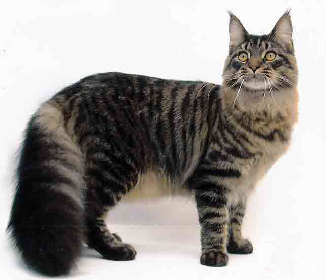 ...tds/images/cat compilation/cat large/cat maine coon 004.jpg.