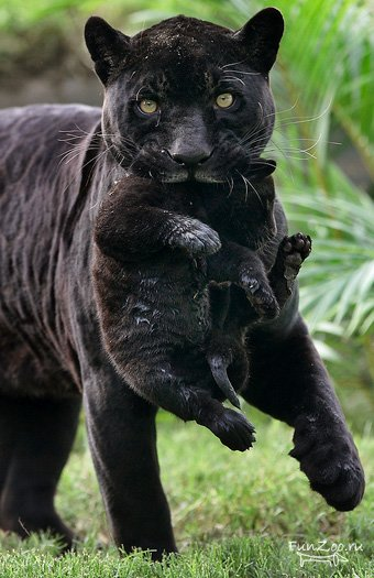 Cute baby black jaguar