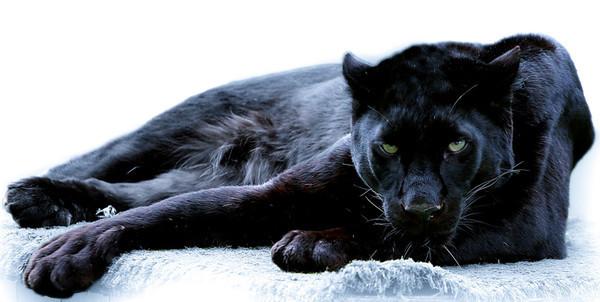 Фото пантеры на аватарку, бесплатные ...: pictures11.ru/foto-pantery-na-avatarku.html