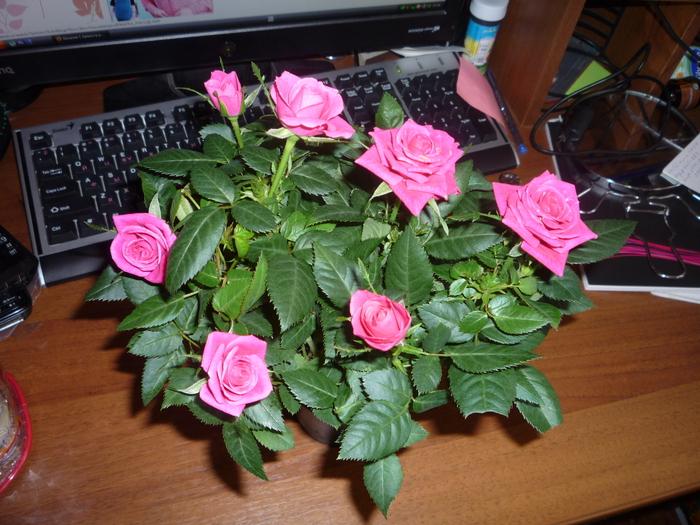 Роза бомонд уход
