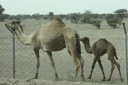 В ОАЭ 7 Эмиратов - Абу-Даби (столица),Дубай (центр туризма), Рас-эль-Хейма
