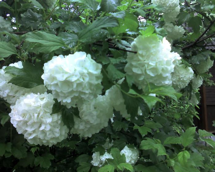 кустовые цветы  и названия