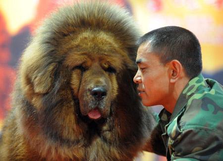 Тибетский мастиф является собакой ориентированной на человека, но он будет на смерть защищать свою территорию и своих