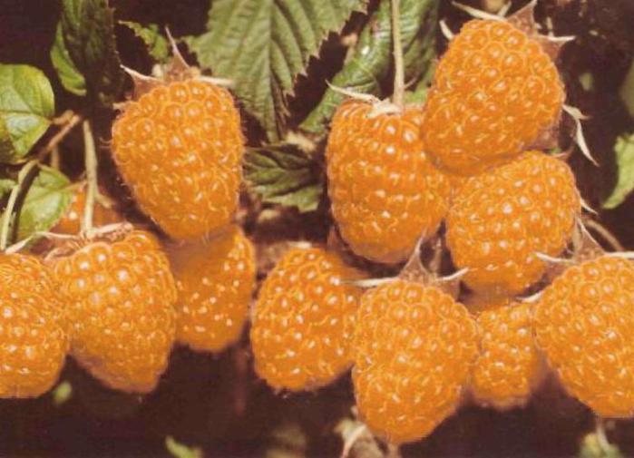 """""""АБРИКОСОВАЯ """". свой цитатник или сообщество!  Ремонтантный желтоплодный сорт с ягодами высоких вкусовых качеств."""