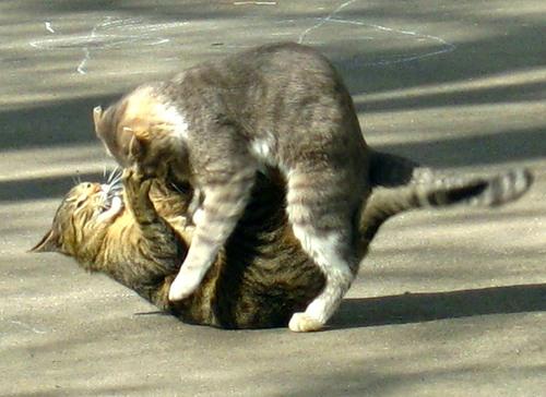 Суровое видео. Кот застал кошку с любовником.