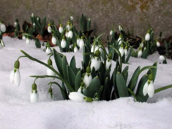 http://img0.liveinternet.ru/images/attach/c/2/71/405/71405732_1298982083_springflowers_020.jpg