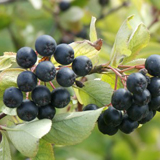 почва для винограда. b Ягоды/b b черноплодной/b b рябины/b имеют...