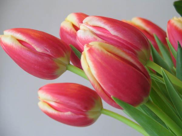 Скачать розовые пионы от риолис