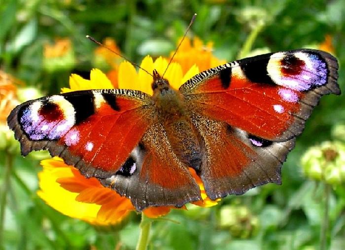 красотка бабочка