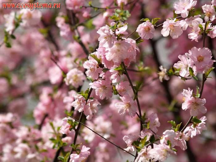 Родственниками цветущих ветвей из этого рода являются жасмин, сирень, олива, ясень и османтус.
