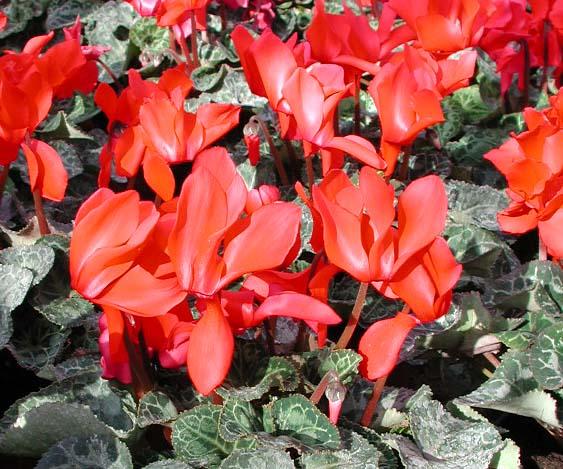 Домашние растения цикламены