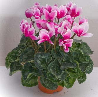 Греки назвали спящий летом цветок цикламеном.  Он представляет собой многолетнее растение, образующее клубнелуковицу...