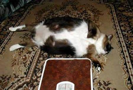 Самая толстая кошка в мире.