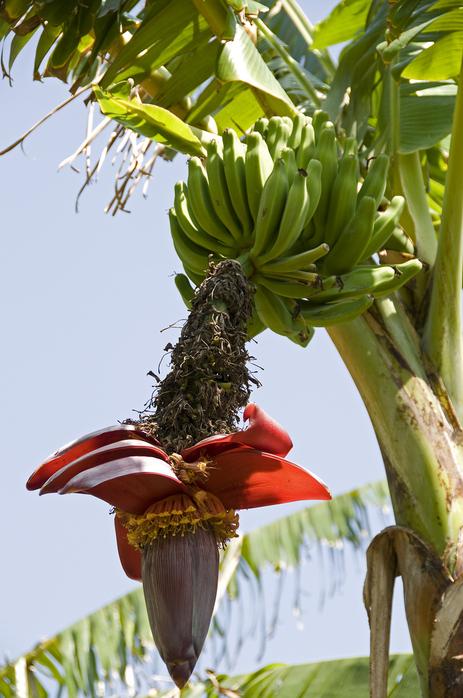 бананы трава фото
