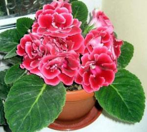 8.Красные комнатные цветы: глоксиния.