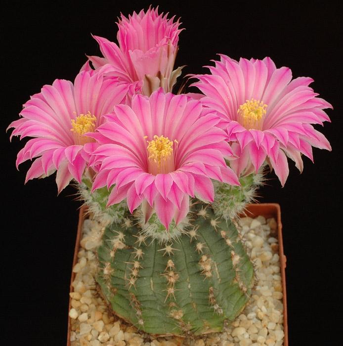 Думаю что после просмотра этих фото цветущих кактусов вы измените сове отношение к этим цветам, потому что они...