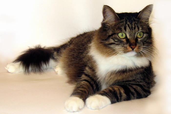 ...породы сибирская кошка зарегистрирована лишь во...