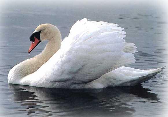 Скачать презентацию для детей - Лебедь.