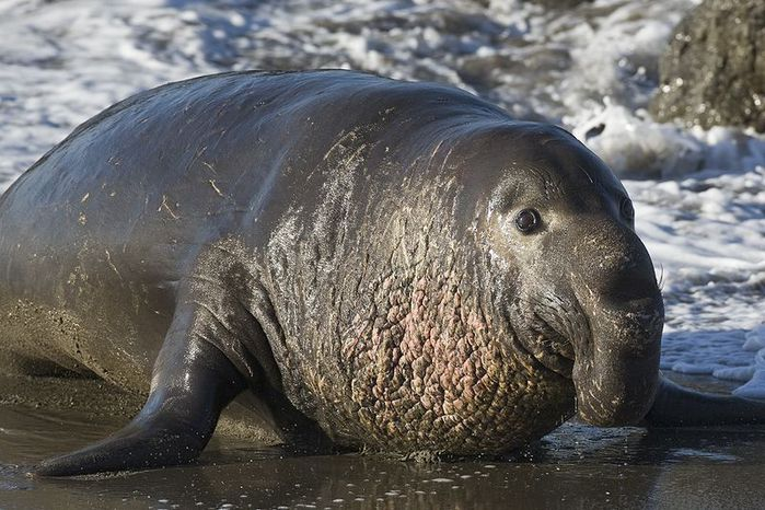 800px-Northern_Elephant_Seal,_Piedras_Blancas,_San_Simeon,_CA_02feb2009 (700x466, 83Kb)