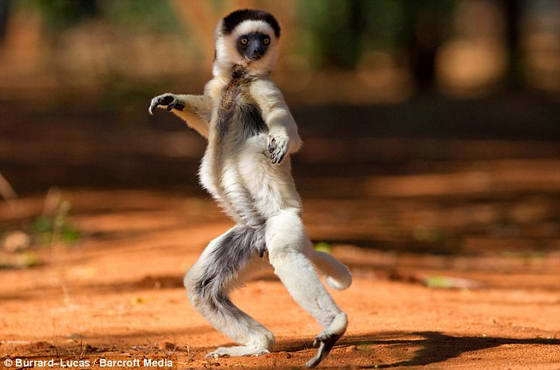 lemurs2 (560x370, 25Kb)