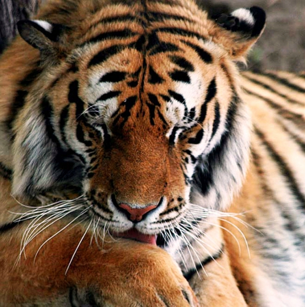 Это люди представляют угрозу для тигра, а не наоборот.  Тигров осталось очень мало, не более 500, и они...