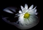 ������ 93003612206401705_fleurs (538x372, 241Kb)