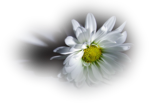 Превью 93003612206401705_fleurs (538x372, 241Kb)