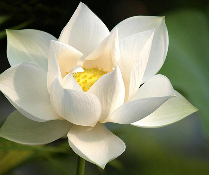 3713712_white_lotus_m2a_enl (700x586, 211Kb)