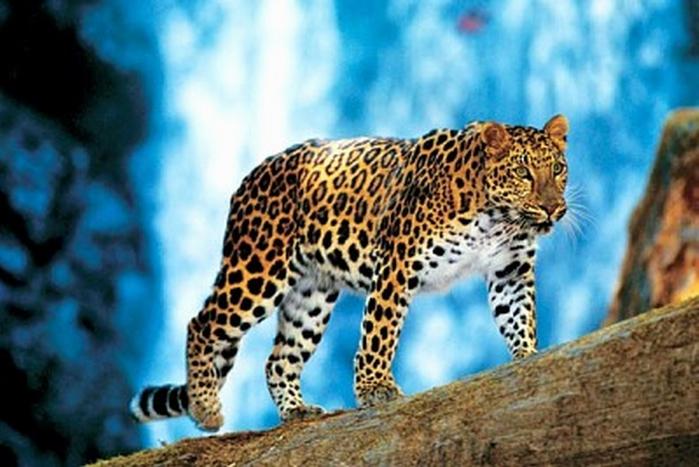 Дальневосточный леопард.  Самая редкая кошка на Земле.